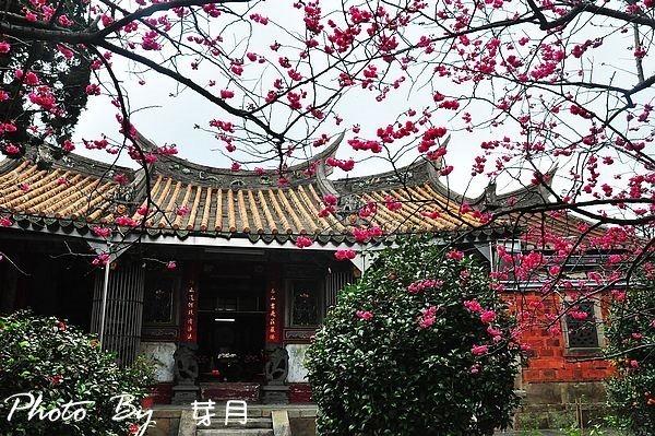楊梅百年回善寺華映賞櫻花
