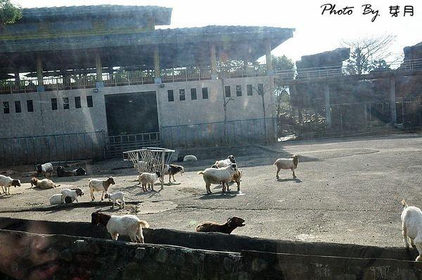 新竹關西六福莊生態渡假旅館草原歷險長頸鹿老虎獅子