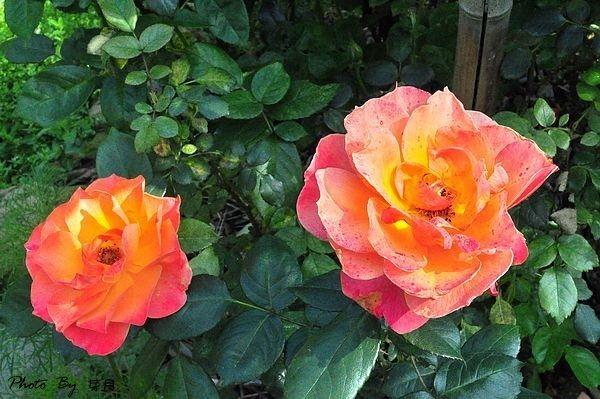 桃園大溪新景點-Rose Valley 玫瑰山谷-美式鄉村風打造,寧靜的玫瑰花園 @民宿女王芽月-美食.旅遊.全台趴趴走