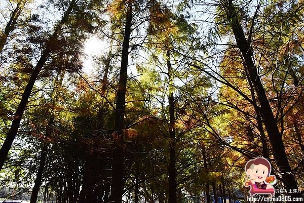 桃園楊梅景點-楊梅落羽松祕境-隱藏版的夢幻落羽松森林來了,超療癒祕境好好拍,假日來瘋狂拍照吧 @民宿女王芽月-美食.旅遊.全台趴趴走