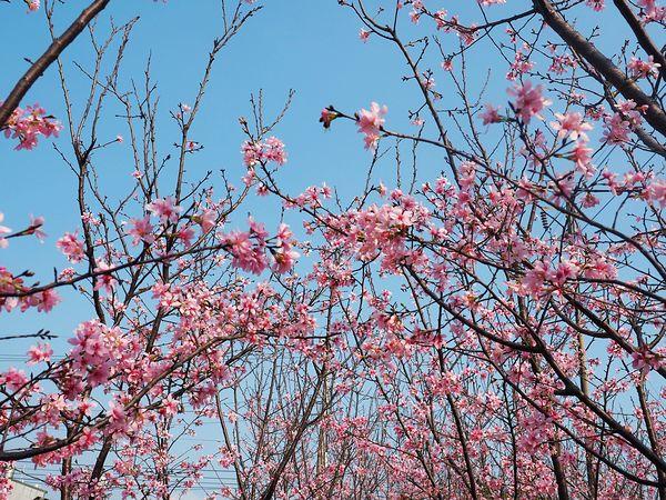 桃園平鎮景點-福龍路櫻花林-粉紅櫻花林又來了,把握時機搶先留下美景 @民宿女王芽月-美食.旅遊.全台趴趴走