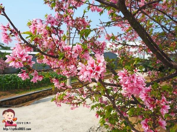 桃園中壢景點-聖德路櫻花小徑-高鐵周圍小祕境,賞花期稍緃即過