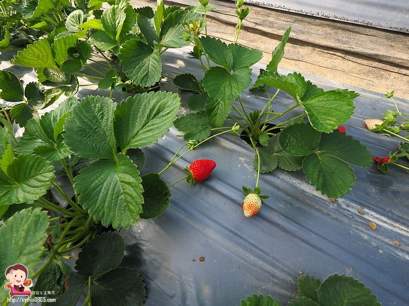 桃園大溪景點-323溫室精緻農場-超大型親子採草莓農場,怎麼採都採不完,還有蕃茄跟無花果哦 @民宿女王芽月-美食.旅遊.全台趴趴走
