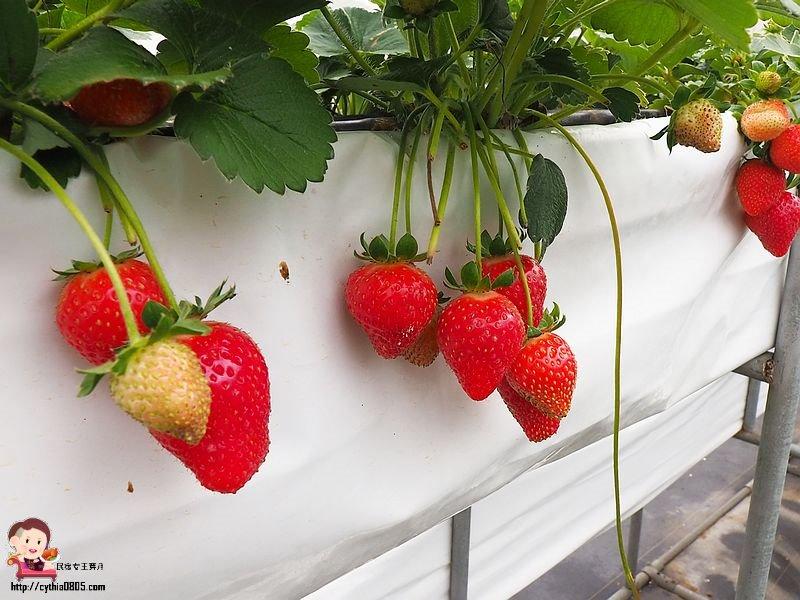 桃園平鎮景點-上日有機莓園-大馬路裡面的隱藏版草莓園,在地青農有用心 @民宿女王芽月-美食.旅遊.全台趴趴走