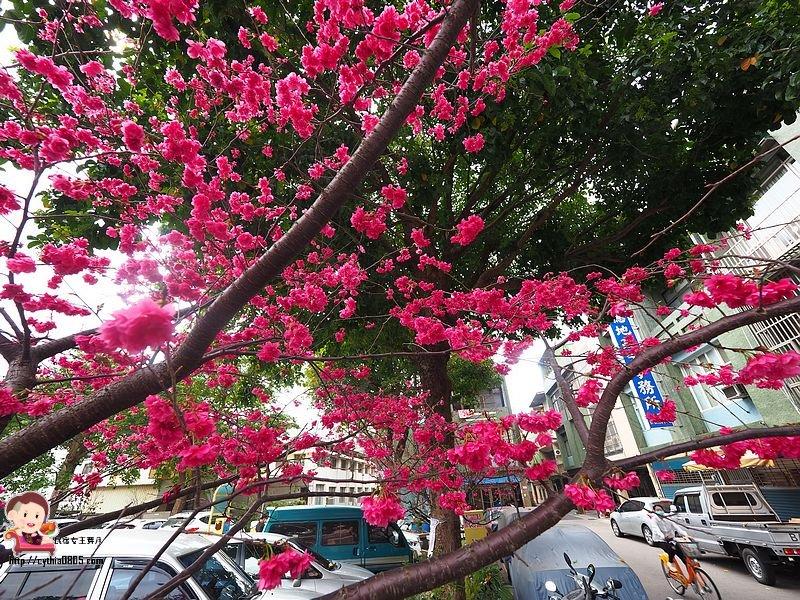 桃園龍潭限時景點-東華街櫻花-停車場旁的櫻花樹大爆發,想拍照就要快 @民宿女王芽月-美食.旅遊.全台趴趴走