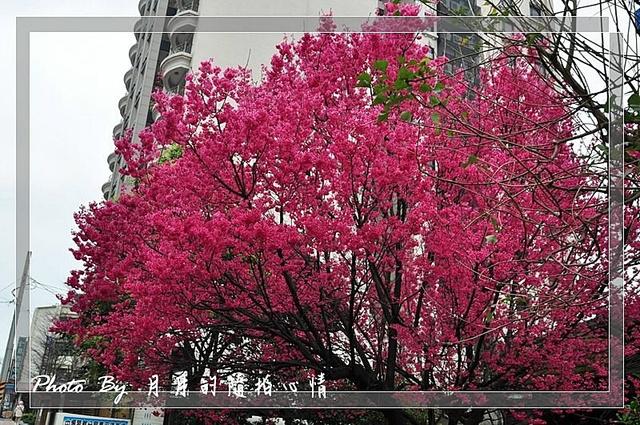 中壢-中壢分局賞櫻-每年必拍景點 @民宿女王芽月-美食.旅遊.全台趴趴走