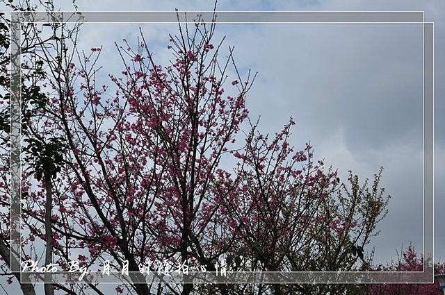 平鎮-山仔頂賞櫻記-我家也有櫻花季 @民宿女王芽月-美食.旅遊.全台趴趴走