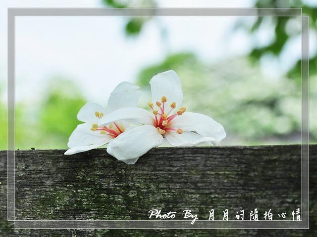 龍潭-2012桐花季(下)-帶著孩子一同體驗大自然 @民宿女王芽月-美食.旅遊.全台趴趴走