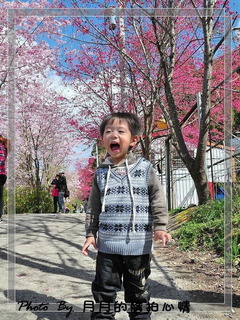 復興鄉,恩愛農場.千島櫻,拉拉山,桃園,櫻花 @民宿女王芽月-美食.旅遊.全台趴趴走